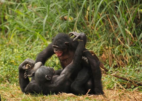 как сеском занимаются обезьяны
