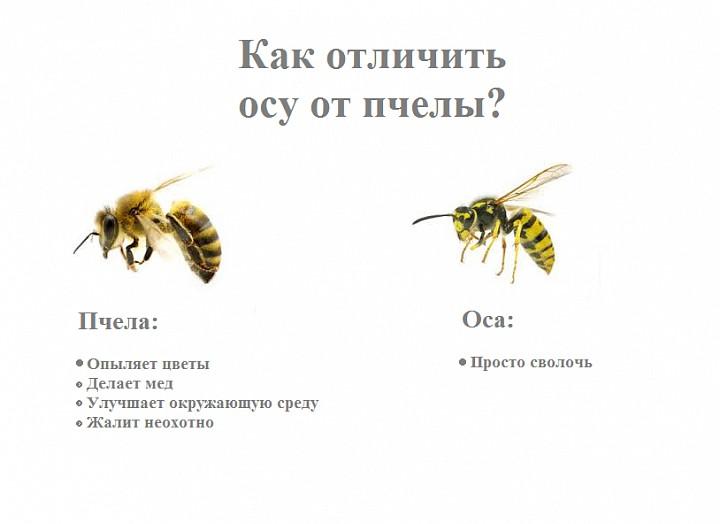 единственная чем отличается пчела от осы картинки фотосъемка школьников оформление